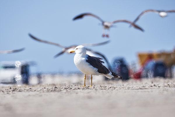 Laridae – die Mövenvögel